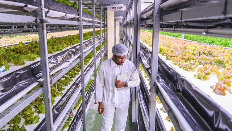 Farmer checking the crops in vertical farm